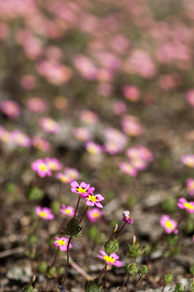 Petites fleurs roses et jaunes