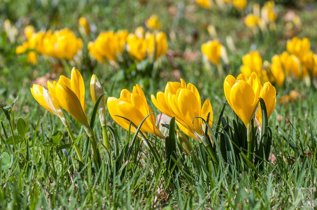 4 crocus jaunes