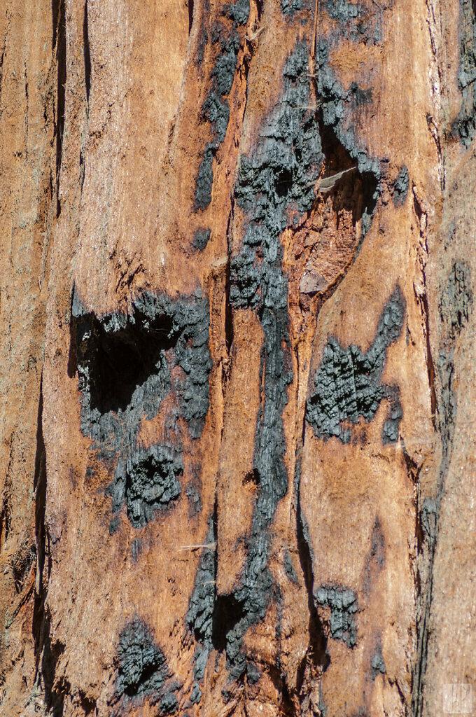Ecorce de séquoia