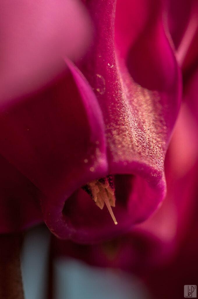 Fleur de cyclamen rose