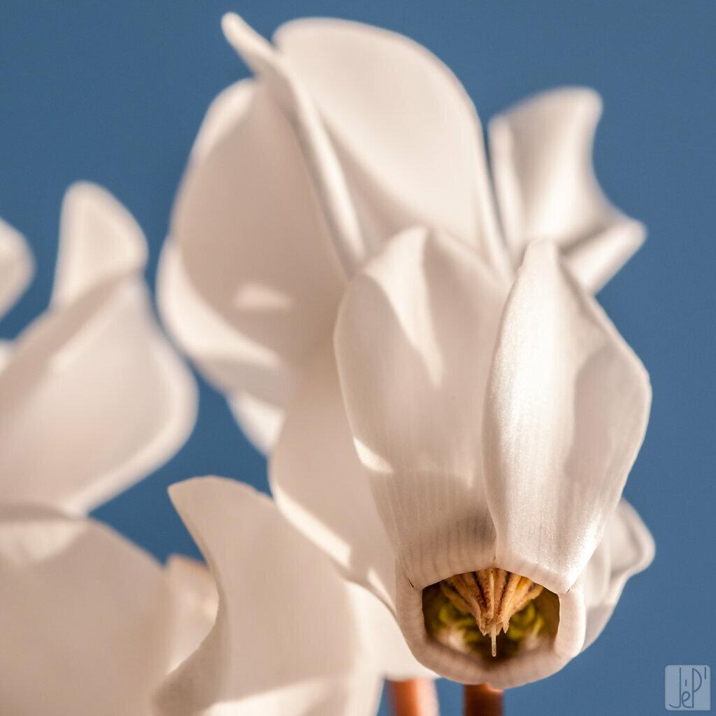 Fleur de cyclamen blanc